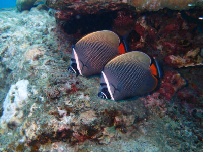 インド洋固有種 コラーレバタフライフィッシュ