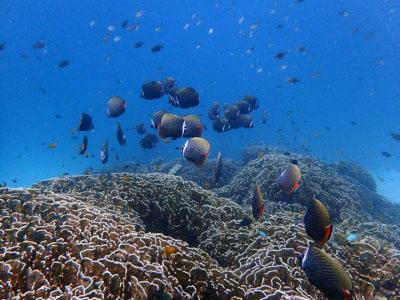 インド洋固有種 コラーレバタフライフィッシュ まゆ毛玉
